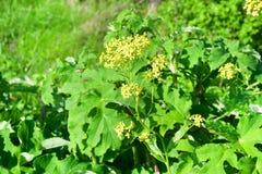 俄罗斯,符拉迪沃斯托克,Shkot海岛的植物群  ?? 免版税图库摄影