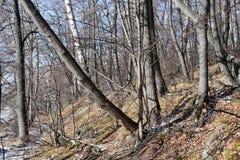 俄罗斯,车里雅宾斯克地区 湖Uvildy岸的混杂的森林在晴朗的11月天 库存图片