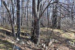 俄罗斯,车里雅宾斯克地区 湖Uvildy岸的混杂的森林在晴朗的11月天 图库摄影
