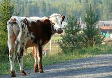 俄罗斯, Alanga 高加索dombai横向本质夏天 在的具球果森林母牛 库存照片