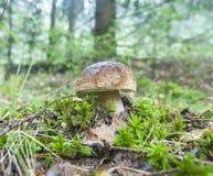 俄罗斯-莫斯科地区- Porcini蘑菇在自然en增长 免版税库存图片
