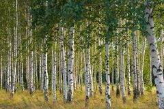 俄语的桦树 免版税库存照片
