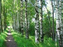 俄语的桦树 库存照片