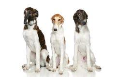 俄语5只俄国猎狼犬月的小狗 免版税图库摄影