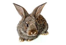 俏丽的兔子 免版税库存图片
