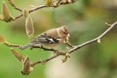 俏丽的公花鸡, Fringilla coelebs,在木兰树的分支栖息 库存图片