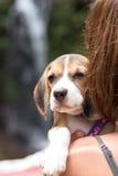 俏丽的妇女美丽年轻满意对小狗小狗小猎犬 热带海岛巴厘岛,印度尼西亚 有小猎犬的夫人 免版税图库摄影