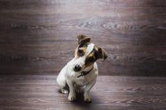 俏丽的小狗凝视与求知欲 免版税库存图片