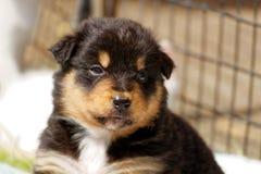 俏丽的小狗澳大利亚人牧羊人 库存照片