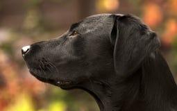 俏丽的拉布拉多狗 免版税库存照片