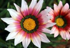 俏丽的杂色菊属植物雏菊热带花 图库摄影
