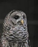俏丽的条纹猫头鹰在佛罗里达 免版税库存照片