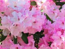 俏丽的桃红色百合花在公园庭院里 库存图片