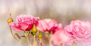 俏丽的桃红色罗斯 库存图片