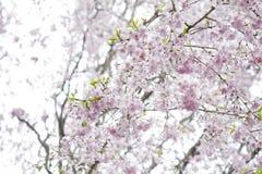 俏丽的樱花在日本 库存照片