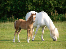 俏丽的母马和驹 免版税库存照片
