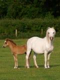 俏丽的母马和驹 库存照片