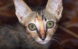 俏丽的猫 免版税库存照片