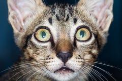 俏丽的猫 免版税图库摄影