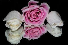 俏丽的玫瑰 库存图片
