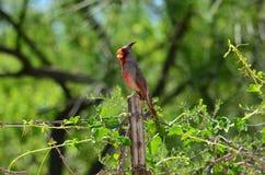 俏丽的男性红雀 库存图片