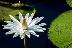 俏丽的白色Waterlily在阳光下 库存图片