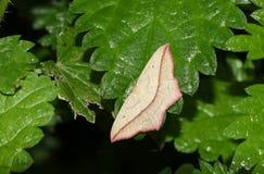 俏丽的血液静脉飞蛾Timandra昏迷在一片刺人的荨麻叶子栖息 图库摄影