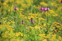 俏丽的野花在春天草甸 免版税库存照片