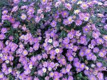 俏丽的雏菊在10月 免版税库存图片