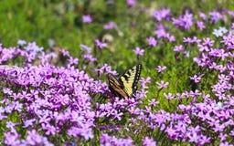 俏丽的蝴蝶和紫色Pholx 免版税库存图片