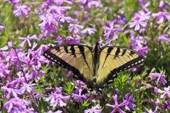 俏丽的蝴蝶和紫色Pholx 免版税库存照片