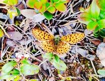 俏丽的蝴蝶在越橘森林里 库存图片