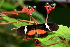 俏丽的longwing的蝴蝶 库存照片