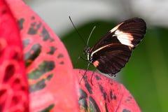 俏丽的longwing的蝴蝶 图库摄影