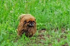俏丽的pekingese狗画象在草的 免版税库存照片