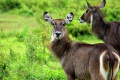 俏丽的Waterbuck的画象,坦桑尼亚 免版税图库摄影