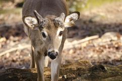 俘虏与断鹿角的Whitetailed鹿,负担空心动物园,雅典乔治亚美国 库存图片
