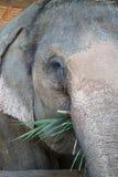 俘虏大象在泰国 库存照片