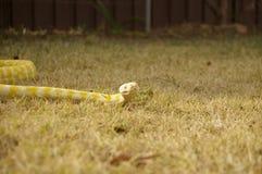 俘虏宠物白变种Python 免版税库存照片
