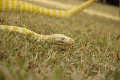 俘虏宠物白变种Python 免版税库存图片