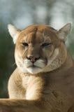 俘虏接近的美洲狮狮子山美洲狮 免版税库存照片