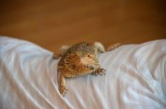 俘虏澳大利亚有胡子的龙宠物蜥蜴 图库摄影