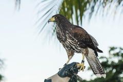俘虏用于在墨西哥手段的猎鹰训练术(Parabuteo unicinctus)的哈里斯的鹰 库存图片