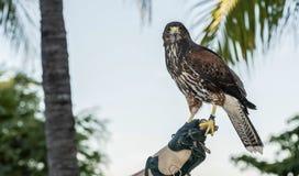 俘虏用于在手段的猎鹰训练术(Parabuteo unicinctus)的哈里斯的鹰在Mexcio 免版税库存图片