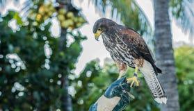 俘虏用于猎鹰训练术(Parabuteo unicinctus)的哈里斯的鹰 免版税库存照片