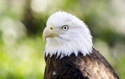 俘虏白头鹰画象,负担空心动物园,雅典乔治亚美国 免版税库存照片
