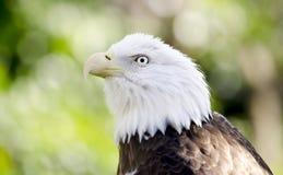 俘虏白头鹰画象,负担空心动物园,雅典乔治亚美国 库存照片