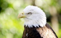 俘虏白头鹰画象,负担空心动物园,雅典乔治亚美国 免版税库存图片
