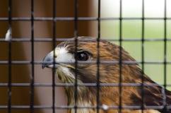 俘虏红被盯梢的鹰 库存照片