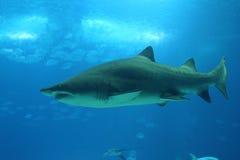 俘虏鲨鱼 免版税库存照片